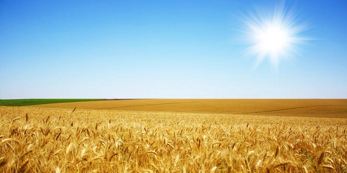 Пшениця-2